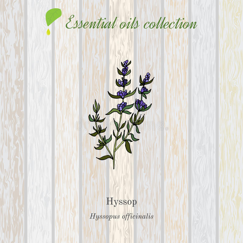 Hysope, label d'huile essentielle, plante aromatique illustration stock