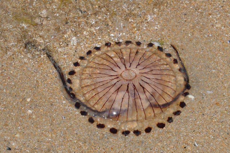 Hysoscella Chrysaora медуз компаса стоковые изображения