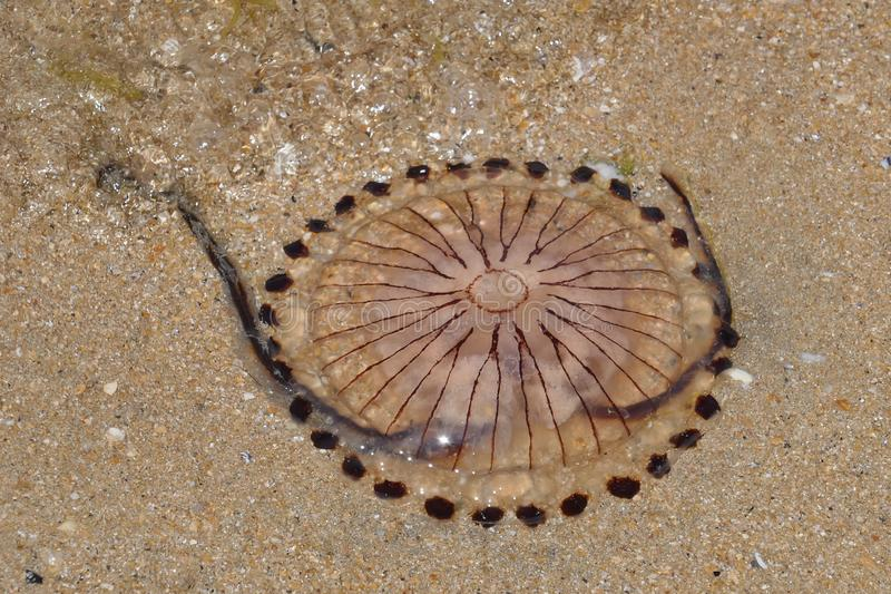 Hysoscella del Chrysaora de las medusas del compás imagenes de archivo