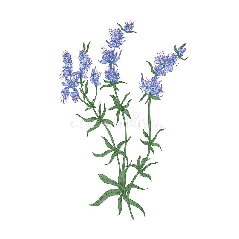 Free Hyssop Flowers Or Inflorescences Isolated On White Background. Detailed Drawing Of Wild Aromatic Perennial Herbaceous Royalty Free Stock Image - 131984526