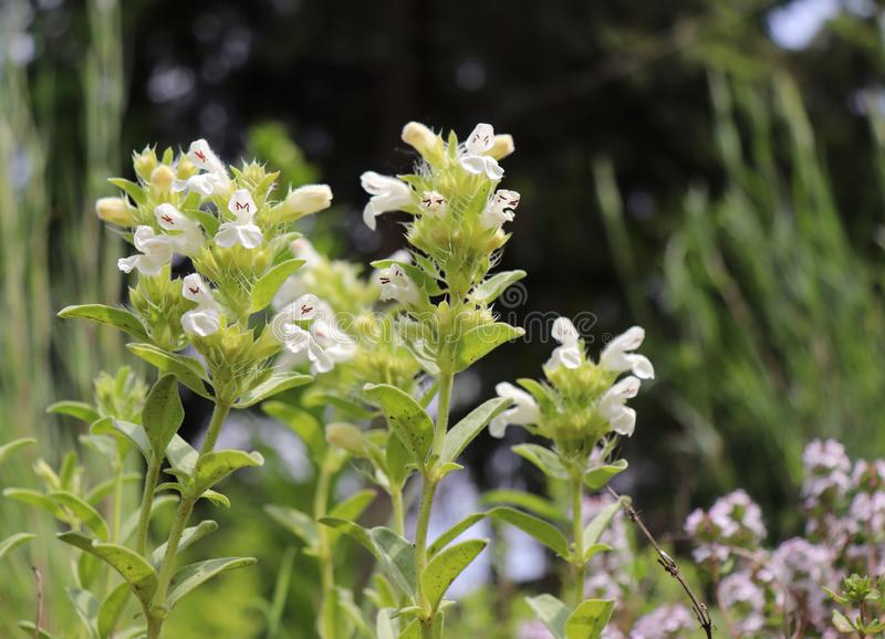 Hyssop-leaved mountain ironwort Sideritis hyssopifolia is a perennial herb native to southwestern Europe mountains. Nature concept stock photography