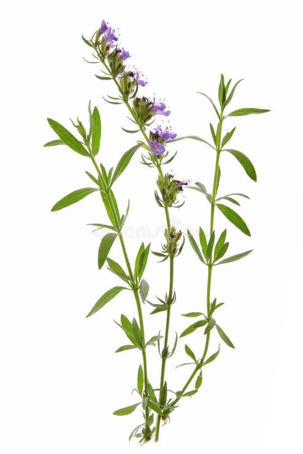 Hyssop (officinalis Hyssopus) стоковая фотография rf