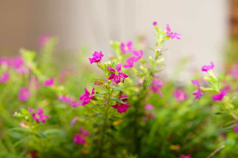 Hyssopifolia Allyson de Cuphea fotografia de stock
