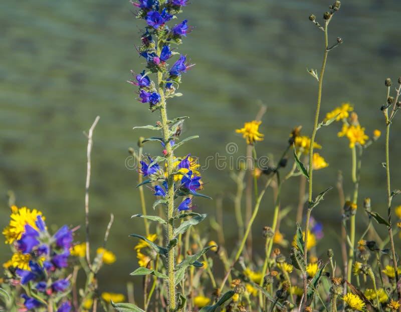 Hyssopus officinalis关闭在蓝绿色海被弄脏的背景的紫色夏天花  紫罗兰色颜色海索草  图库摄影