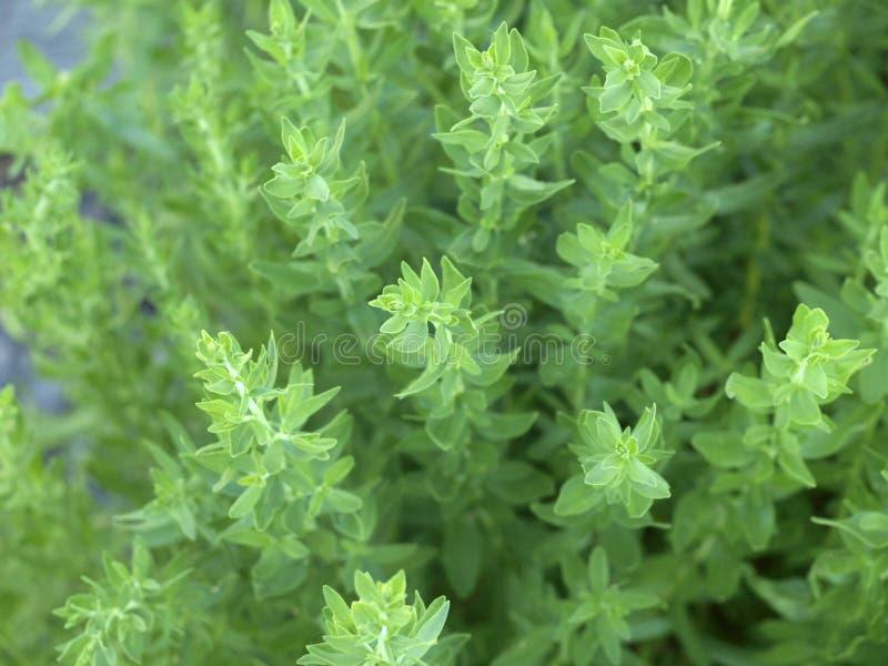 Hyssopus Officinalis - Hyssop fotos de stock