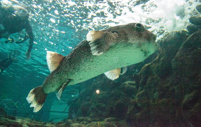 hystrix do diodon do porcupinefish da Ponto-aleta imagem de stock royalty free