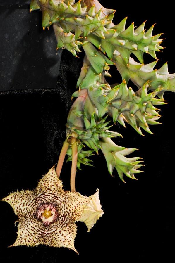 Hystrix var de Huernia hystrix fotos de stock