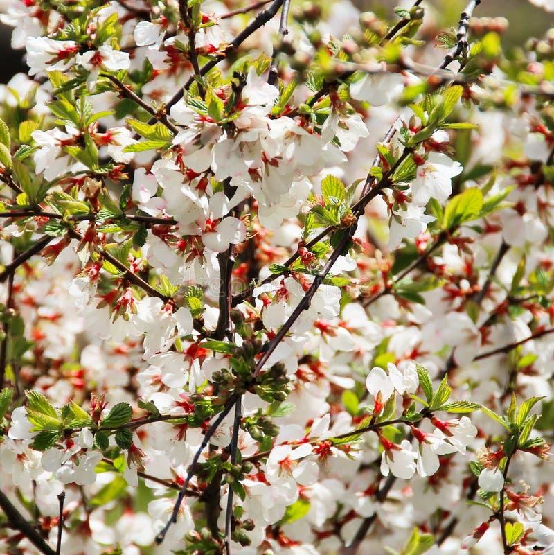 I överflöd blommande körsbär royaltyfria foton