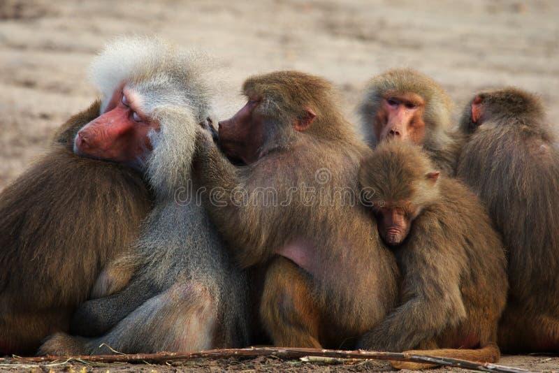 I babbuini del gruppo si chiudono insieme immagini stock