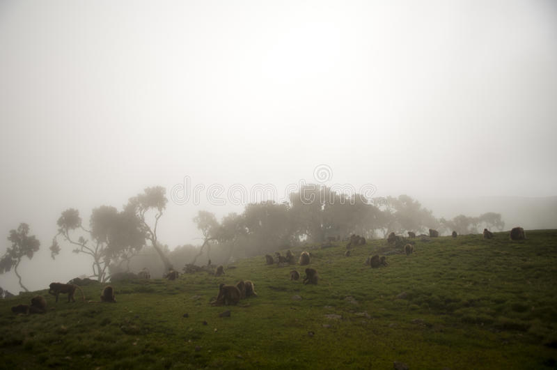I babbuini di Gelada, simien il parco nazionale, Etiopia fotografia stock libera da diritti