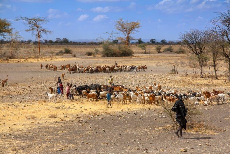 I bambini di Maasai stanno radunando il bestiame della mucca, Tanzania immagini stock libere da diritti