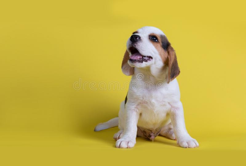 I beagles puppies sbadigliati videro la lingua immagini stock libere da diritti