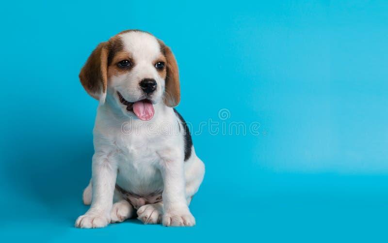 I Beagles puppies sembrano qualcosa fotografie stock