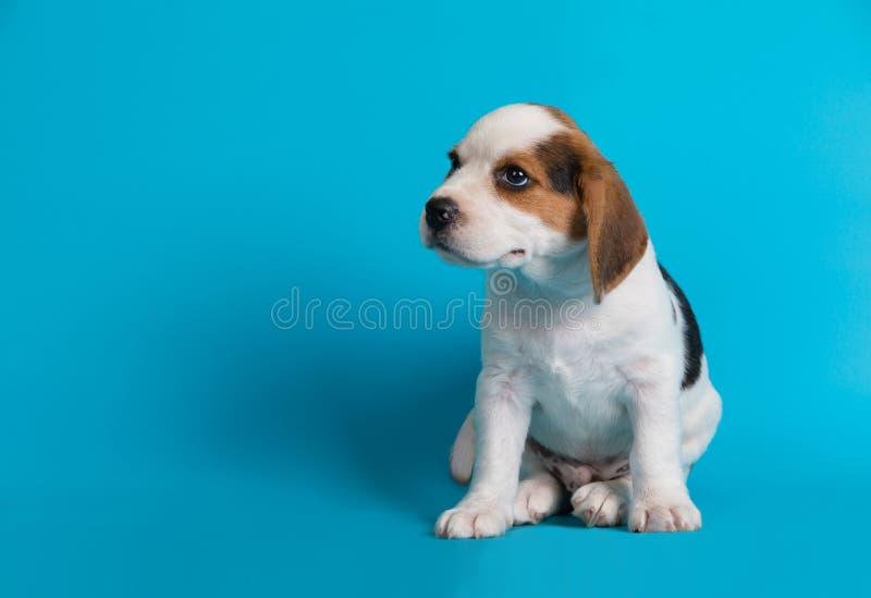 I Beagles puppies sembrano qualcosa immagine stock libera da diritti