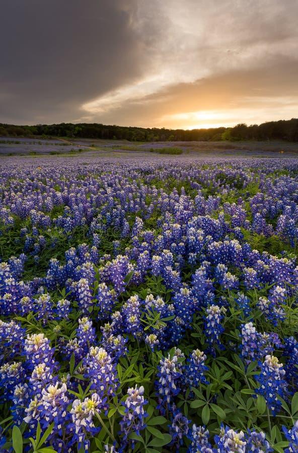 I bei Bluebonnets sistemano al tramonto vicino ad Austin, il Texas in spri immagine stock