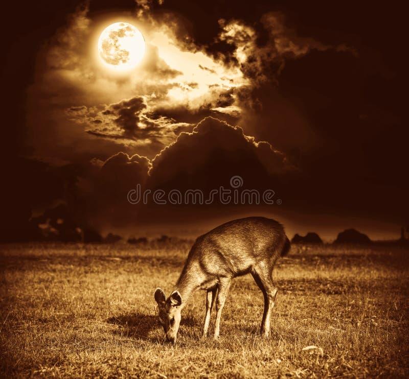 I bei cervi pascono fra il cielo con la luna piena luminosa ed il Cl scuro fotografia stock libera da diritti
