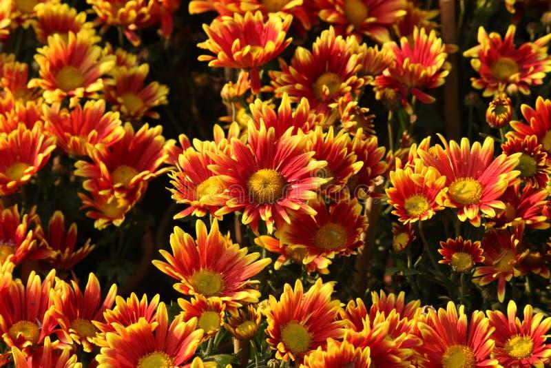 I bei crisantemi fioriscono in giardino immagine stock