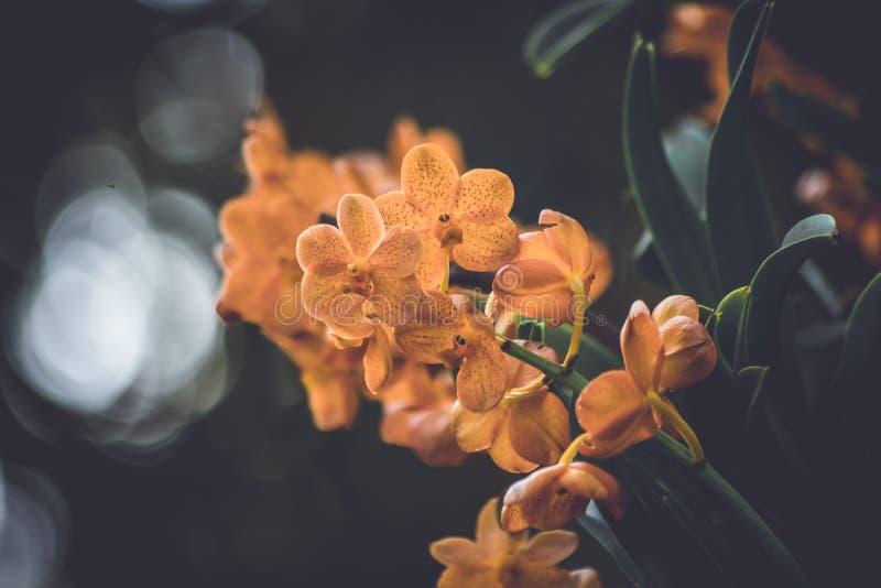 I bei fiori arancio dell'orchidea su un ramo in un giardino delle orchidee si chiudono su immagini stock libere da diritti
