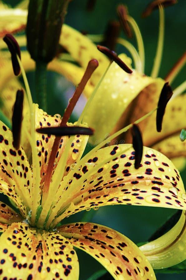 I bei fiori del giglio si sviluppano di estate fotografia stock libera da diritti
