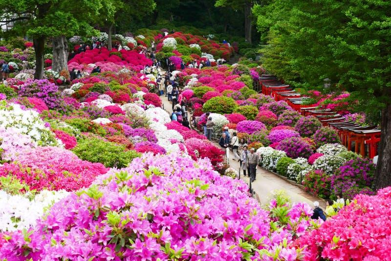 I bei fiori dell'azalea a Nezu shrine, Tokyo fotografie stock libere da diritti