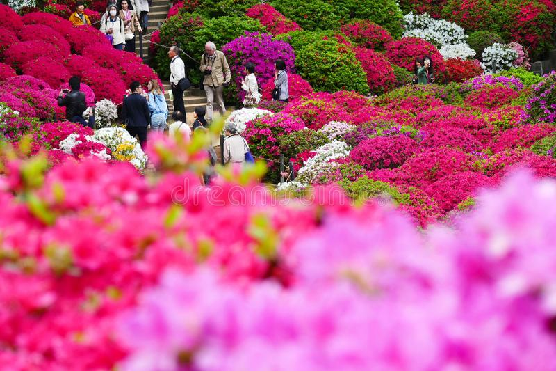 I bei fiori dell'azalea a Nezu shrine, Tokyo immagine stock libera da diritti