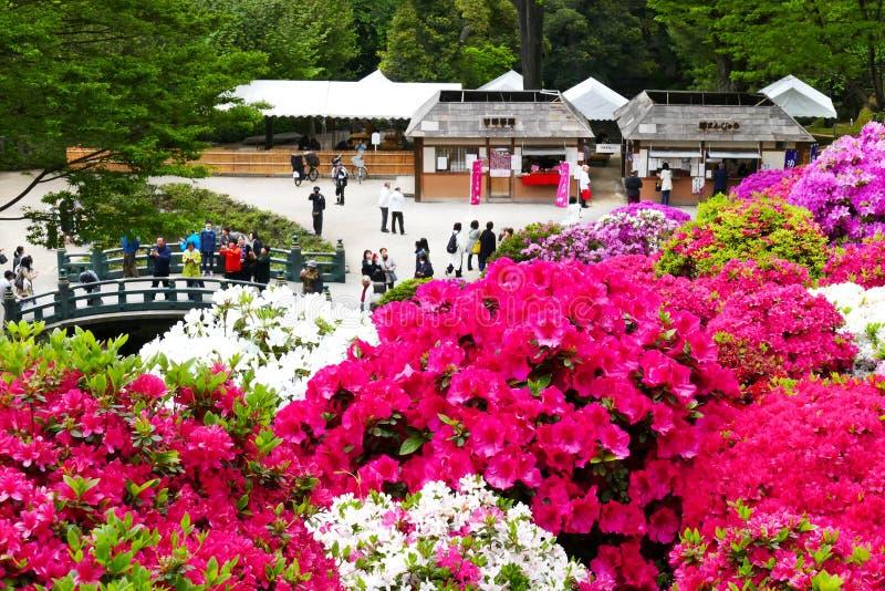 I bei fiori dell'azalea a Nezu shrine, Tokyo fotografia stock