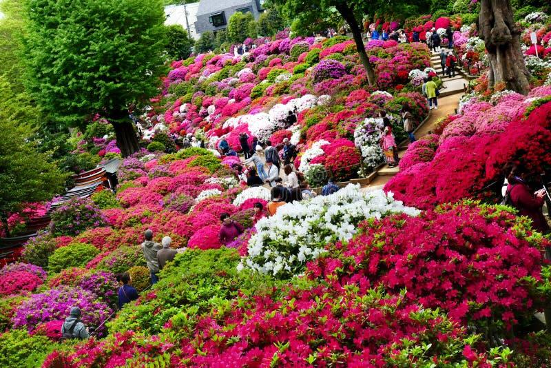 I bei fiori dell'azalea a Nezu shrine, Tokyo fotografie stock