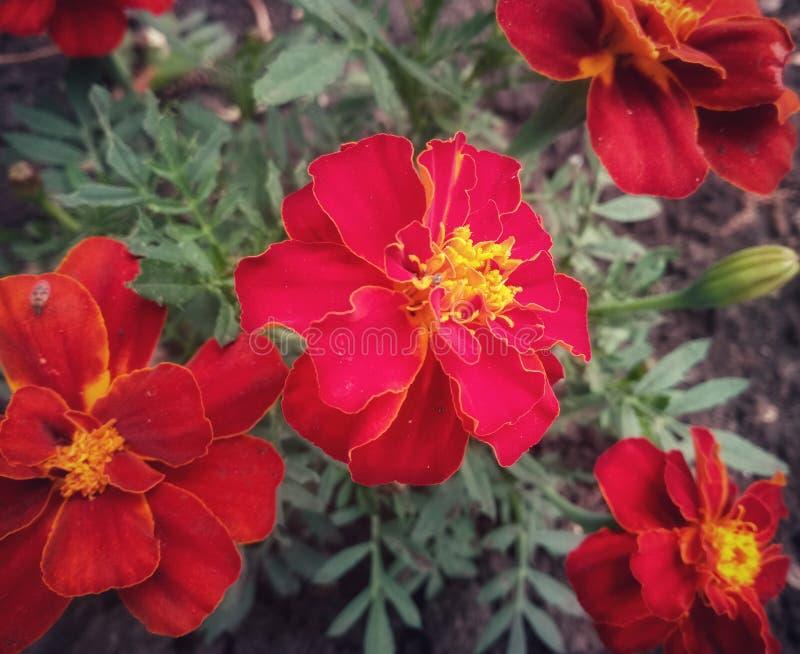i bei fiori rossi si sono sviluppati nel giardino fotografia stock libera da diritti