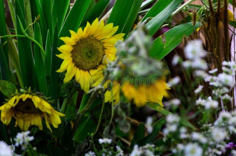 I bei girasoli gialli sbocciano fra il fiore bianco e le foglie verdi immagine stock libera da diritti