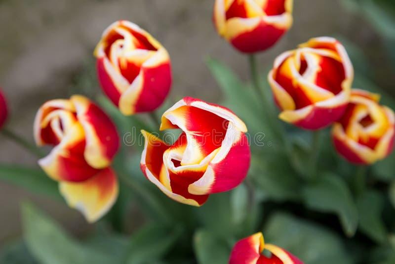 I bei tulipani rossi con bianco e giallo hanno fornito di punta i petali veduti da sopra fotografia stock