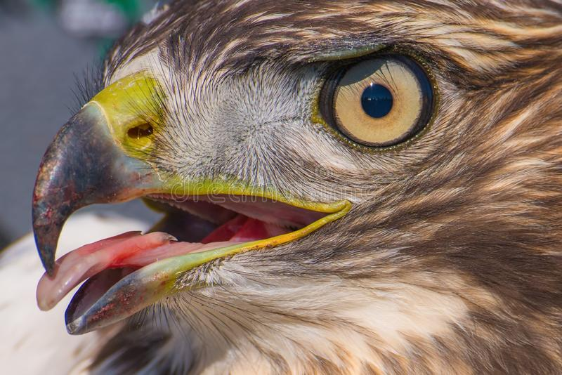I believe a sharp-shinned juvenile hawk portrait with tongue sticking out - close up - at Hawk Ridge Bird Observatory in Duluth, M royalty free stock photos