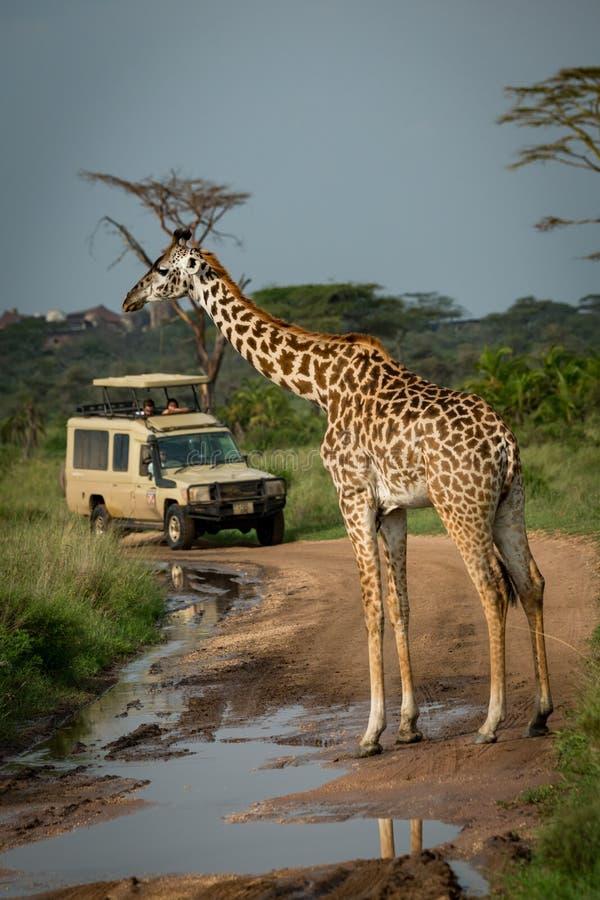 Download I Blocchetti Masai Della Giraffa Hanno Sommerso La Strada Per La Jeep Immagine Stock - Immagine di filiale, wildlife: 117975317