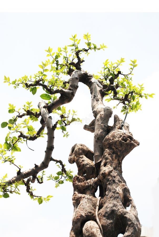 I bonsai con il rockery immagine stock libera da diritti