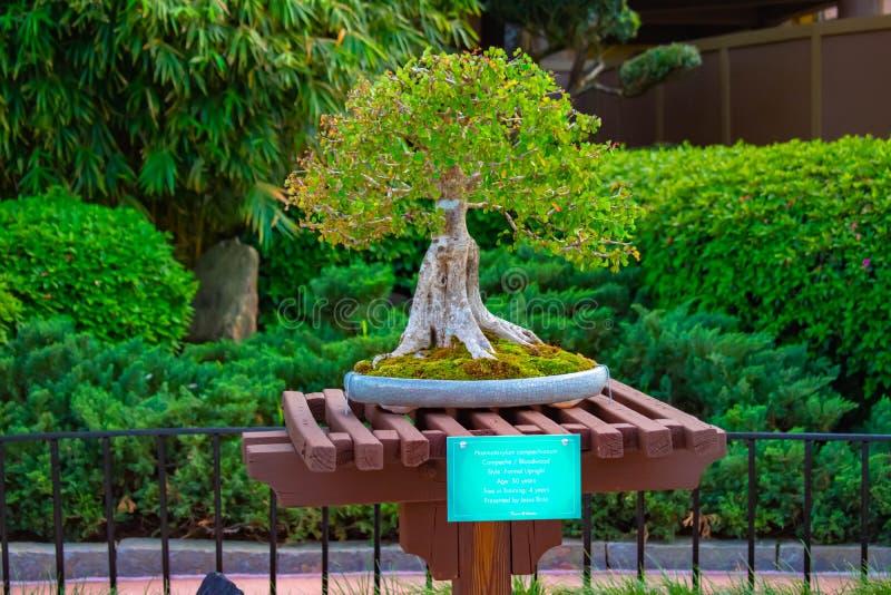 I bonsai hanno esibito nel padiglione della Cina a Epcot in Walt Disney World immagine stock libera da diritti
