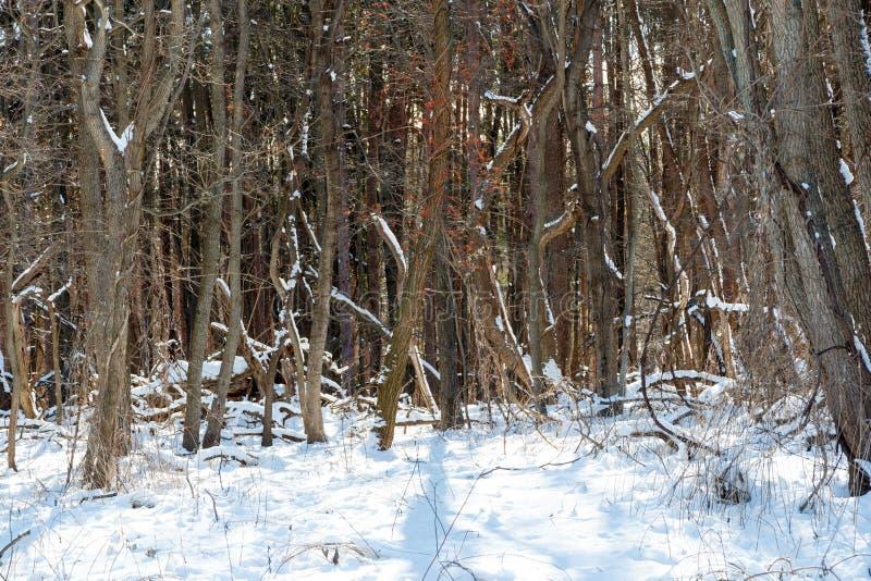 I boschi invernali coperti di neve con luce solare e ombre immagini stock