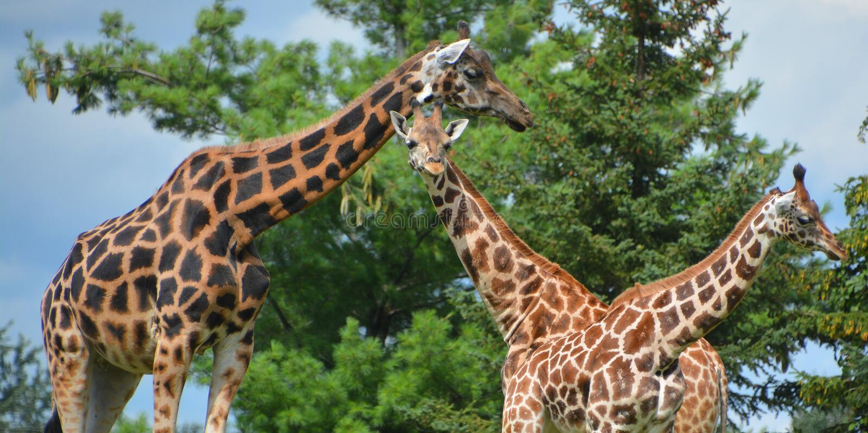 I camelopardalis del Giraffa della giraffa fotografie stock libere da diritti