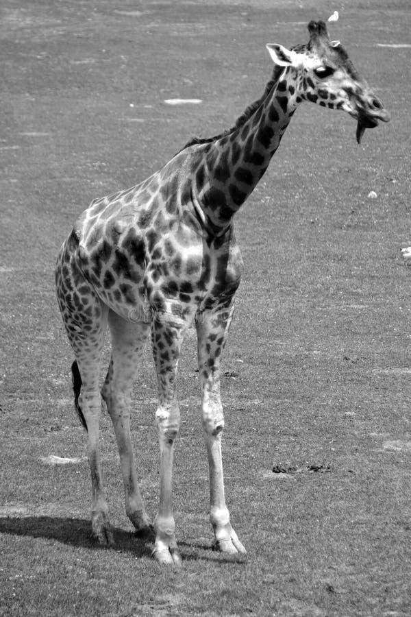 I camelopardalis del Giraffa della giraffa immagine stock libera da diritti