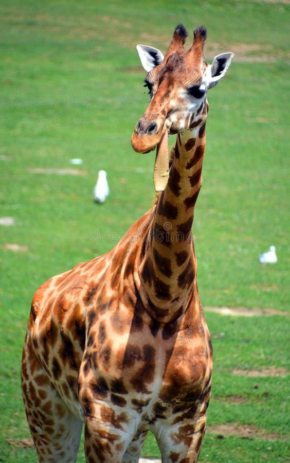 I camelopardalis del Giraffa della giraffa immagini stock