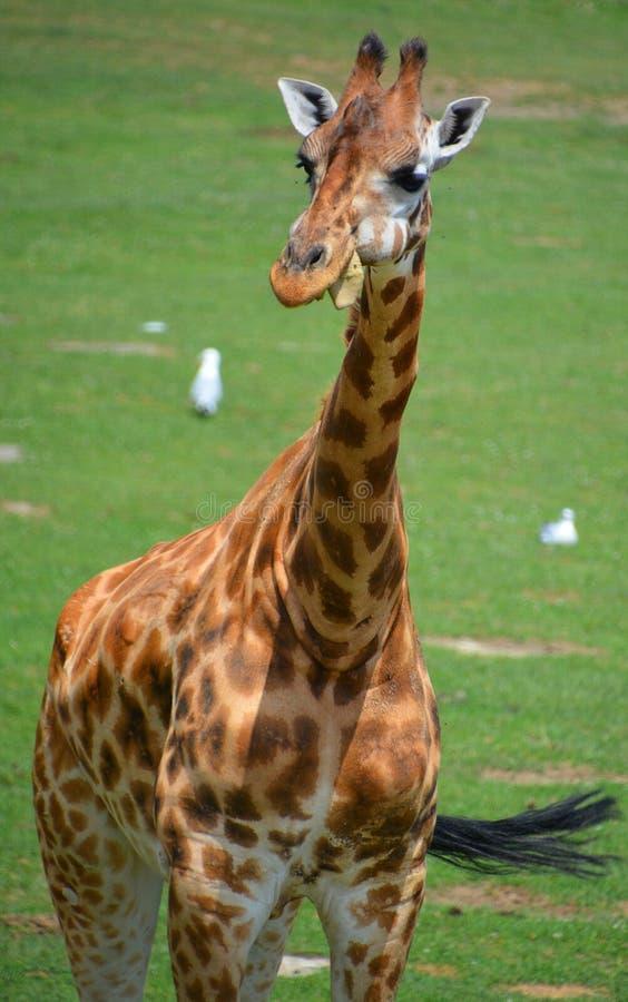 I camelopardalis del Giraffa della giraffa fotografia stock libera da diritti