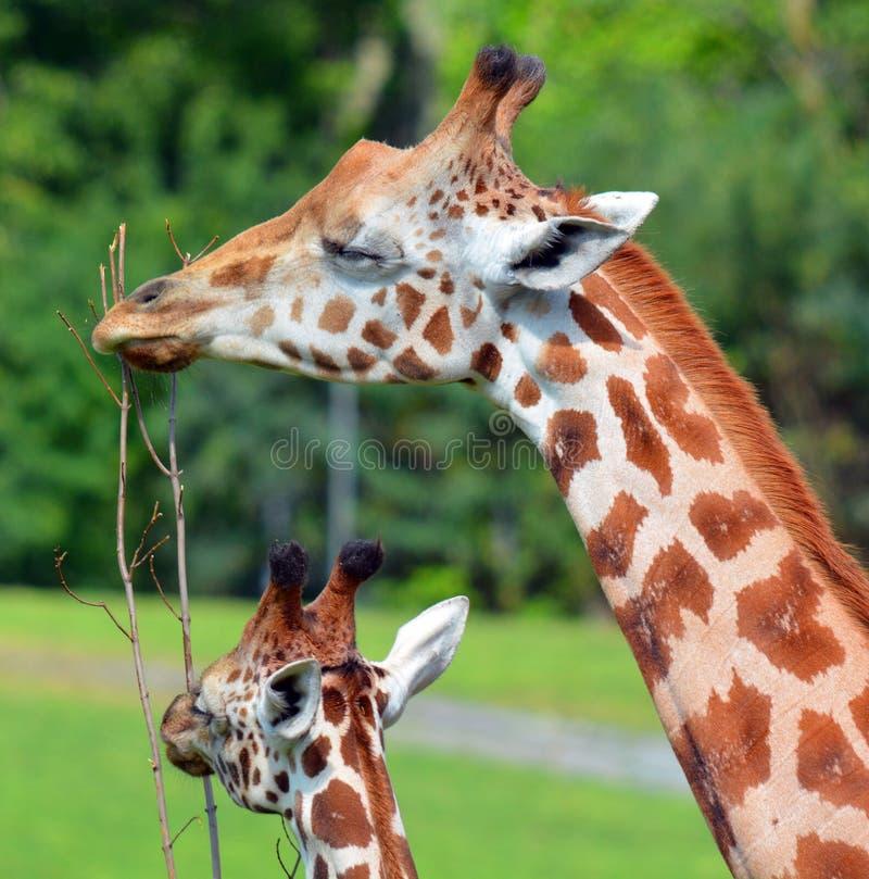 I camelopardalis del Giraffa della giraffa fotografie stock