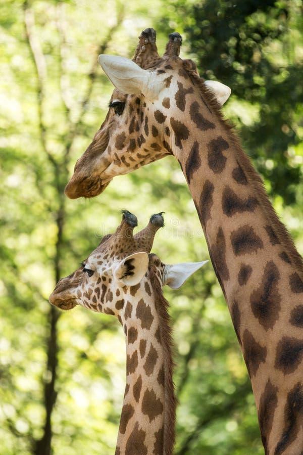 I camelopardalis del Giraffa della giraffa, mammifero uguale-piantato africano degli ungulati, il più alto di tutte le specie ani fotografia stock