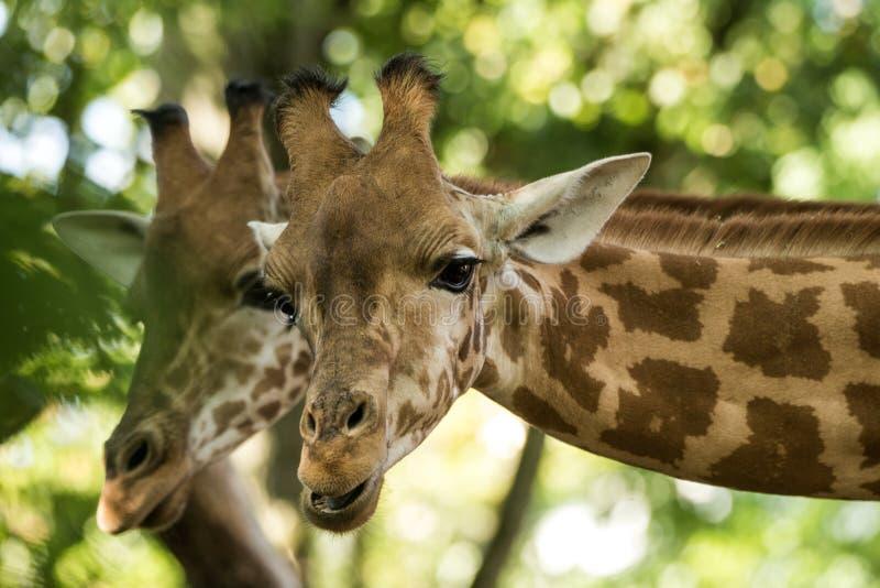 I camelopardalis del Giraffa della giraffa, mammifero uguale-piantato africano degli ungulati, il più alto di tutte le specie ani immagini stock