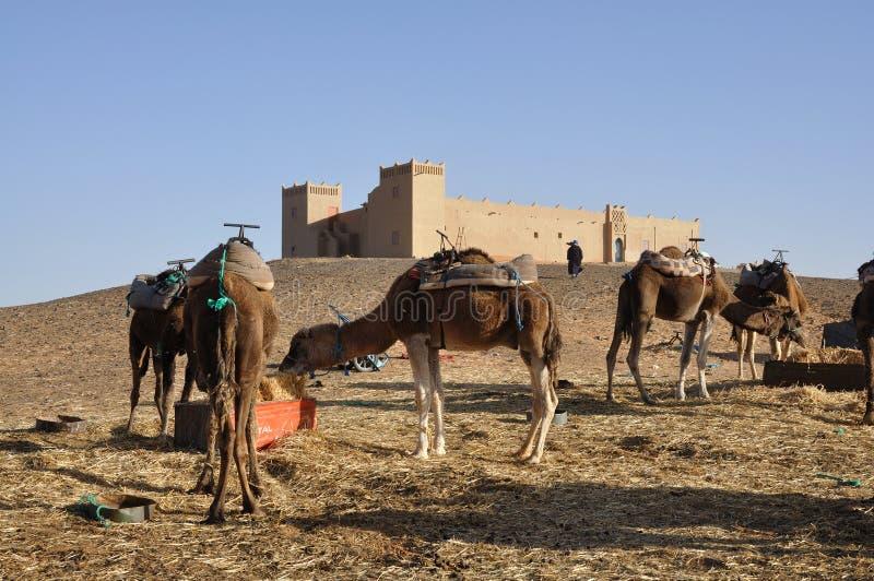 I cammelli caricano l'accampamento, deserto di Sahara fotografie stock libere da diritti