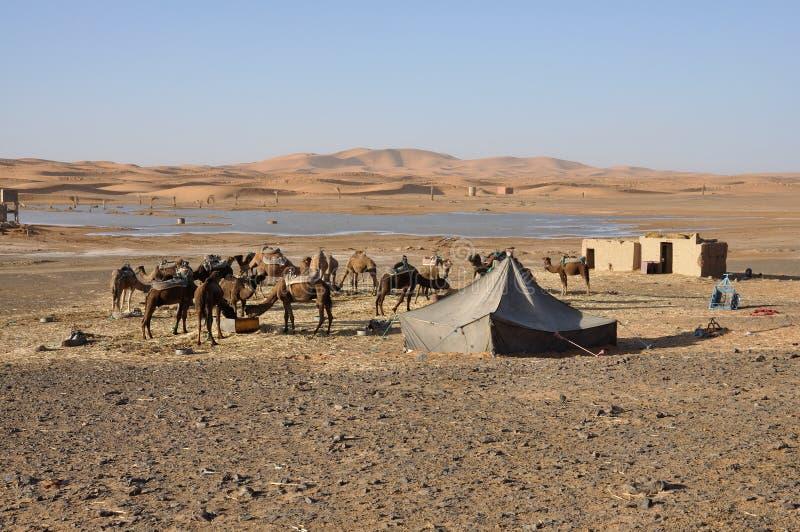 I cammelli caricano l'oasi, deserto di Sahara fotografia stock