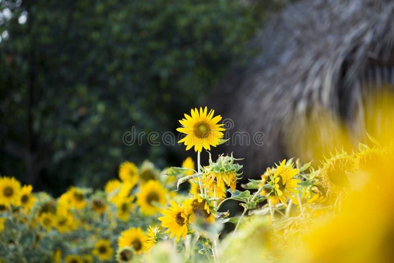 I campi dei girasoli ora sono un terreno comunale fotografia stock libera da diritti