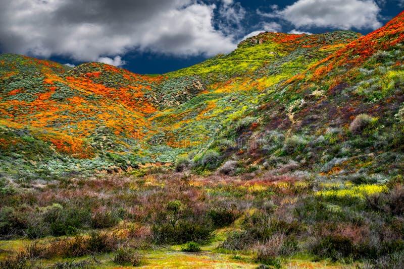 I campi del papavero di California abbelliscono per fare un'immagine perfetta della molla fotografia stock