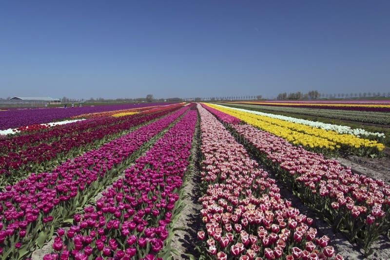 I campi olandesi del tulipano abbelliscono con i numerosi tulipani di contrapposizione immagini stock libere da diritti