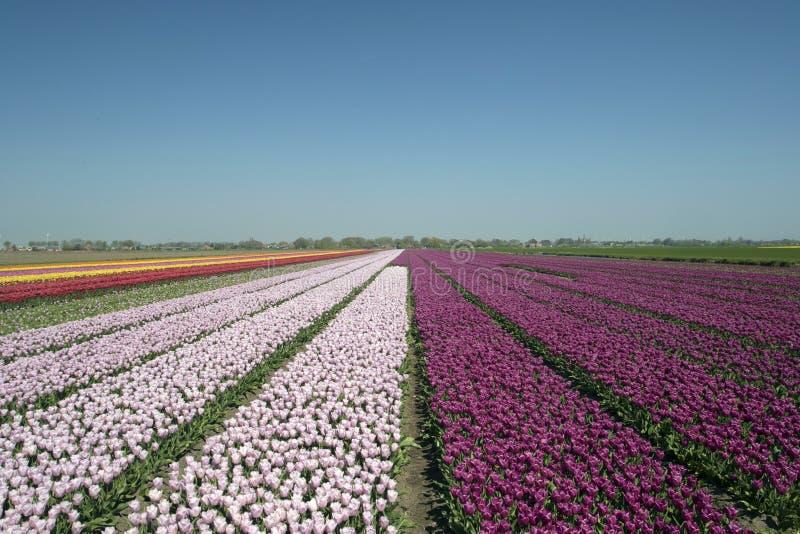 I campi olandesi del tulipano abbelliscono con i numerosi tulipani di contrapposizione immagine stock