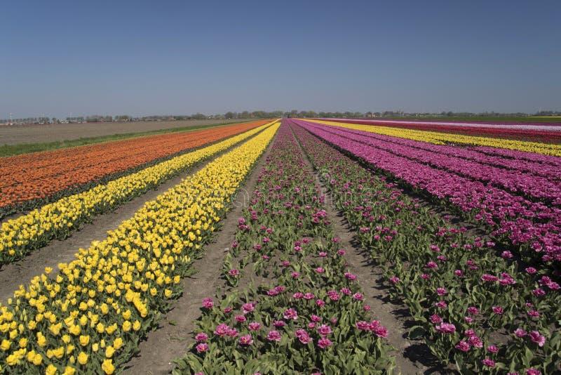 I campi olandesi del tulipano abbelliscono con i numerosi tulipani di contrapposizione fotografia stock libera da diritti