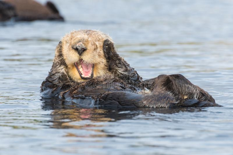 I can`t hear you, says sea otter covering ears. Funny sea otter in Morro Bay along California`s Central Coast. Sea otters were listed as threatened under the stock photos